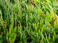 Sea Beans, Salicornia, Samphire